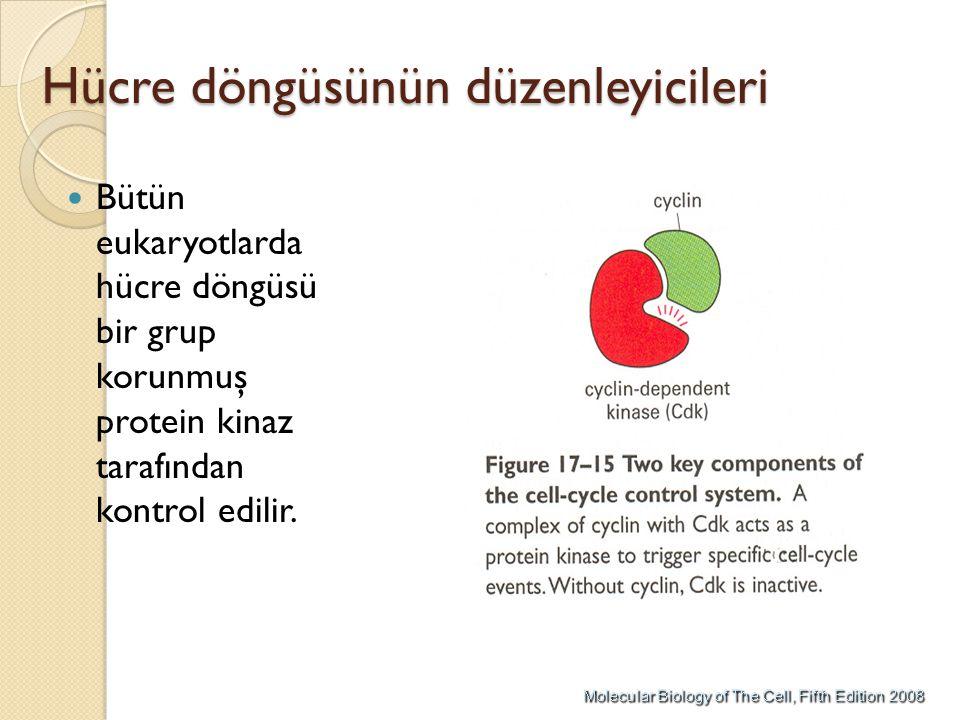 Hücre döngüsünün düzenleyicileri Bütün eukaryotlarda hücre döngüsü bir grup korunmuş protein kinaz tarafından kontrol edilir.