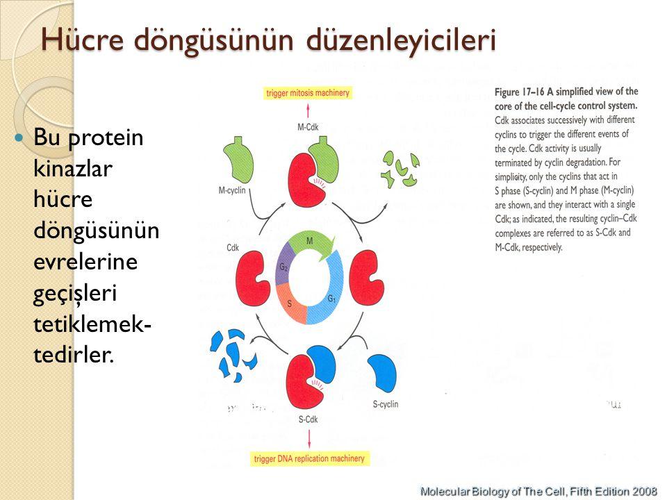 Hücre döngüsünün düzenleyicileri Bu protein kinazlar hücre döngüsünün evrelerine geçişleri tetiklemek- tedirler.