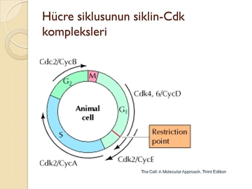 Hücre siklusunun siklin-Cdk kompleksleri