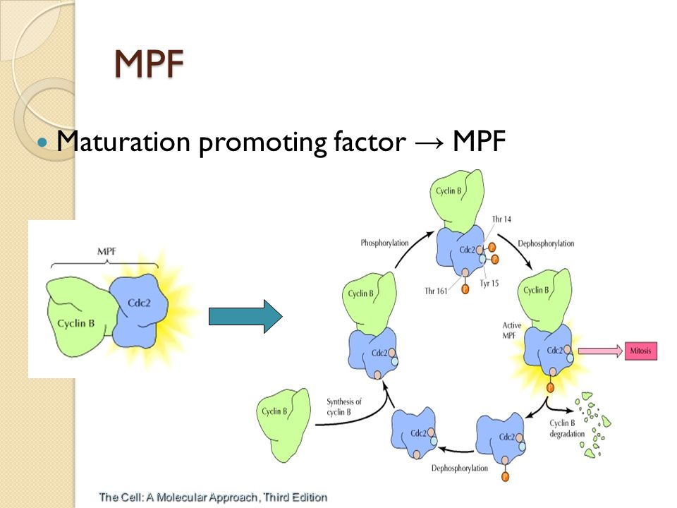 MPF Maturation promoting factor → MPF