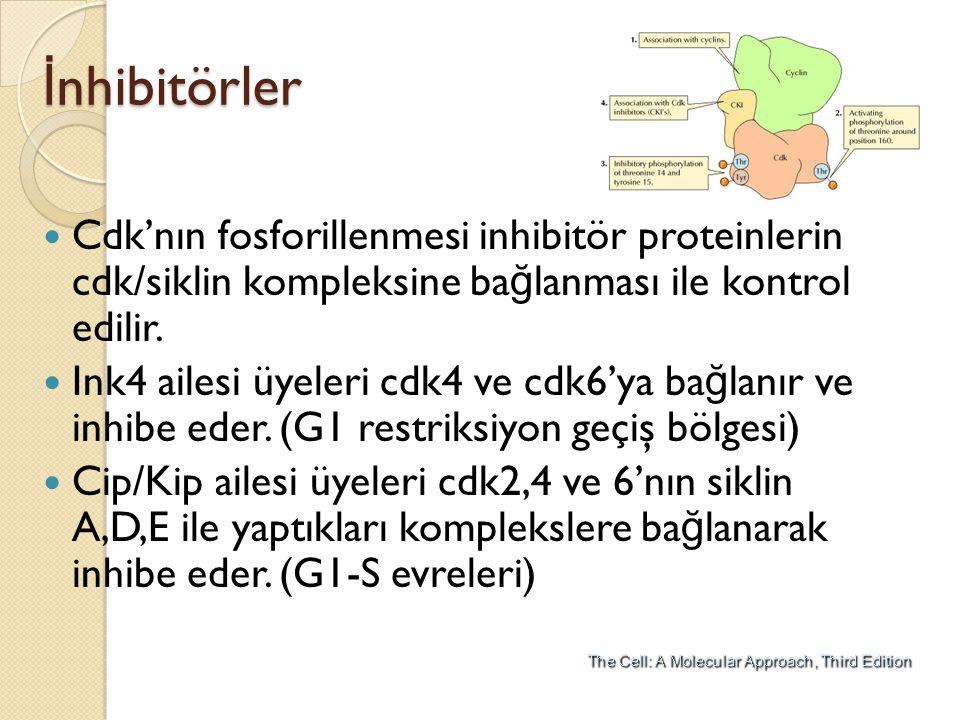 İ nhibitörler Cdk'nın fosforillenmesi inhibitör proteinlerin cdk/siklin kompleksine ba ğ lanması ile kontrol edilir. Ink4 ailesi üyeleri cdk4 ve cdk6'
