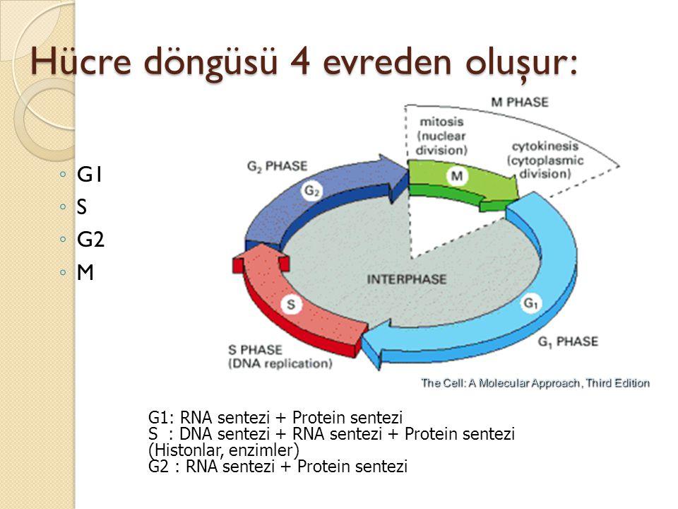 Hücre döngüsü 4 evreden oluşur: ◦ G1 ◦ S ◦ G2 ◦ M G1: RNA sentezi + Protein sentezi S : DNA sentezi + RNA sentezi + Protein sentezi (Histonlar, enziml