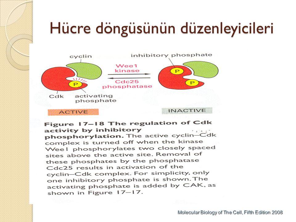 Hücre döngüsünün düzenleyicileri
