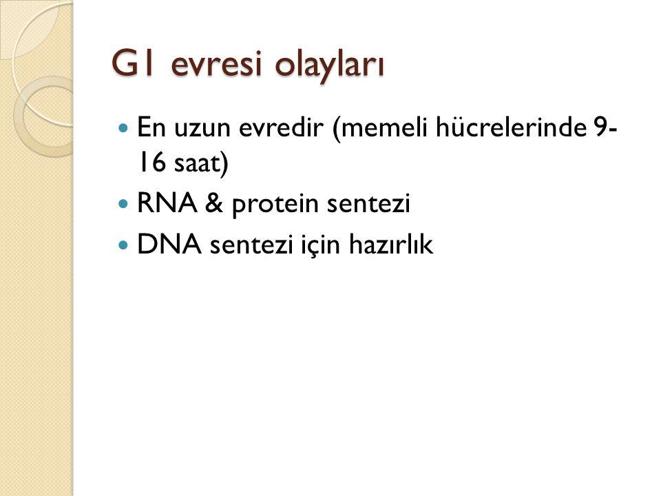 G1 evresi olayları En uzun evredir (memeli hücrelerinde 9- 16 saat) RNA & protein sentezi DNA sentezi için hazırlık