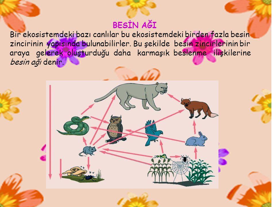 BESİN AĞI Bir ekosistemdeki bazı canlılar bu ekosistemdeki birden fazla besin zincirinin yapısında bulunabilirler. Bu şekilde besin zincirlerinin bir