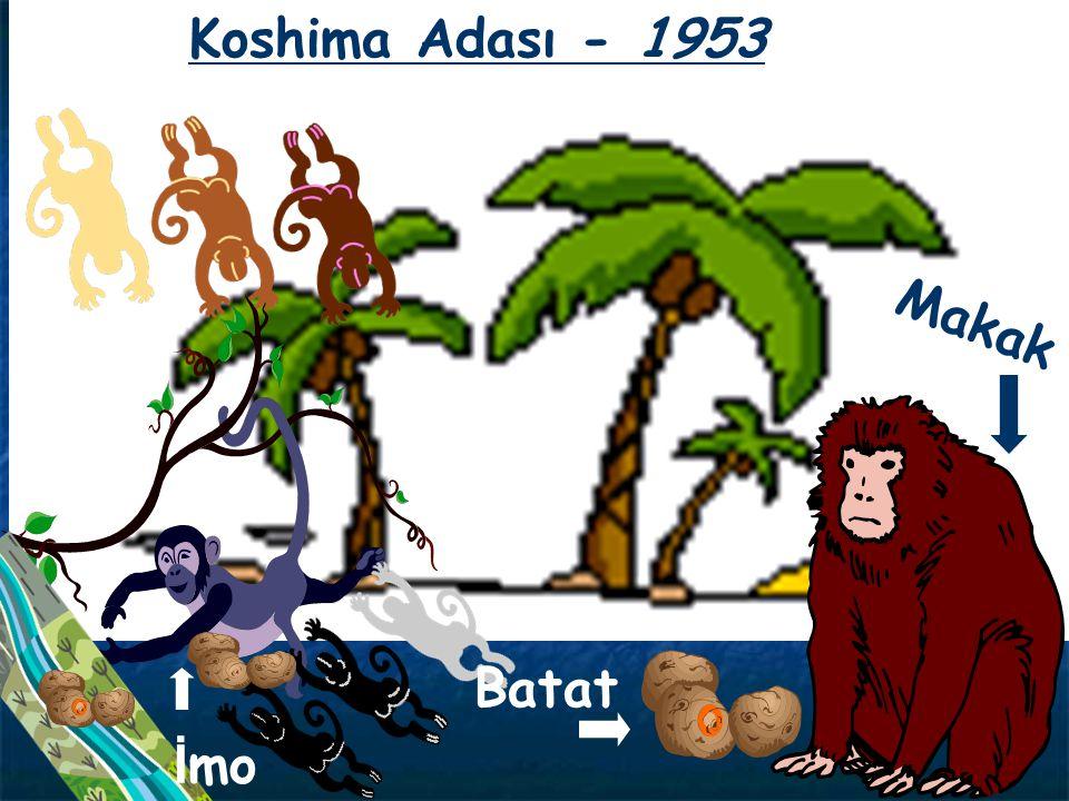Makak Batat Koshima Adası - 1953 İ mo