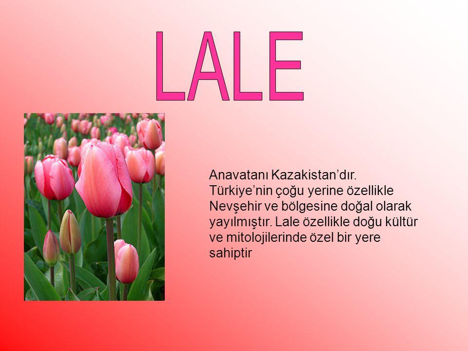 Anavatanı Kazakistan'dır. Türkiye'nin çoğu yerine özellikle Nevşehir ve bölgesine doğal olarak yayılmıştır. Lale özellikle doğu kültür ve mitolojileri