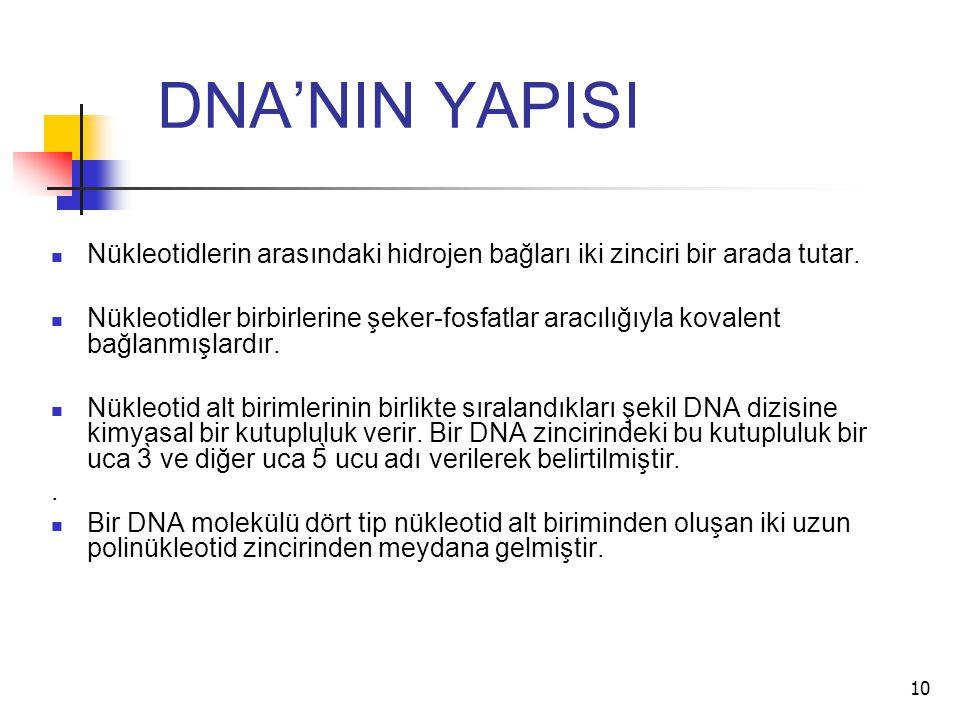 10 DNA'NIN YAPISI Nükleotidlerin arasındaki hidrojen bağları iki zinciri bir arada tutar. Nükleotidler birbirlerine şeker-fosfatlar aracılığıyla koval