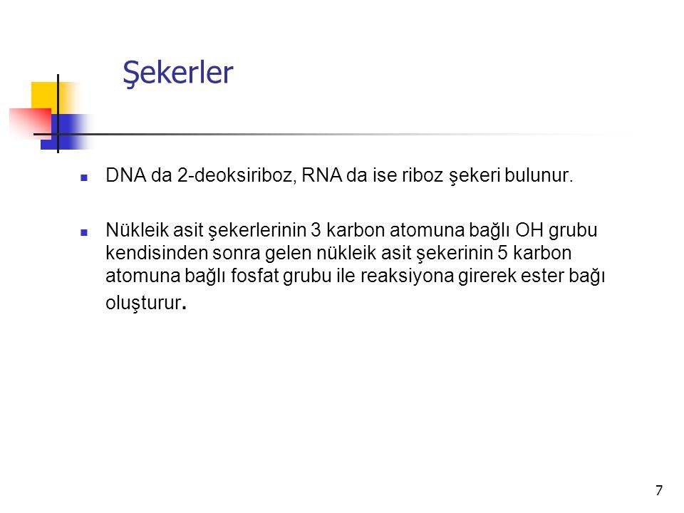 7 Şekerler DNA da 2-deoksiriboz, RNA da ise riboz şekeri bulunur. Nükleik asit şekerlerinin 3 karbon atomuna bağlı OH grubu kendisinden sonra gelen nü