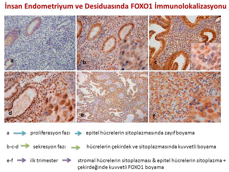 a bc d e f İnsan Endometriyum ve Desiduasında FOXO1 İmmunolokalizasyonu a proliferasyon fazı epitel hücrelerin sitoplazmasında zayıf boyama b-c-d sekresyon fazı hücrelerin çekirdek ve sitoplazmasında kuvvetli boyama e-f ilk trimester stromal hücrelerin sitoplazması & epitel hücrelerin sitoplazma + çekirdeğinde kuvvetli FOXO1 boyama