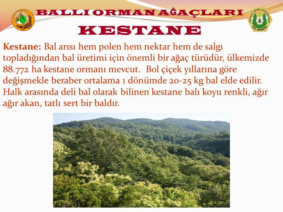 Kestane: Bal arısı hem polen hem nektar hem de salgı topladığından bal üretimi için önemli bir ağaç türüdür, ülkemizde 88.772 ha kestane ormanı mevcut.
