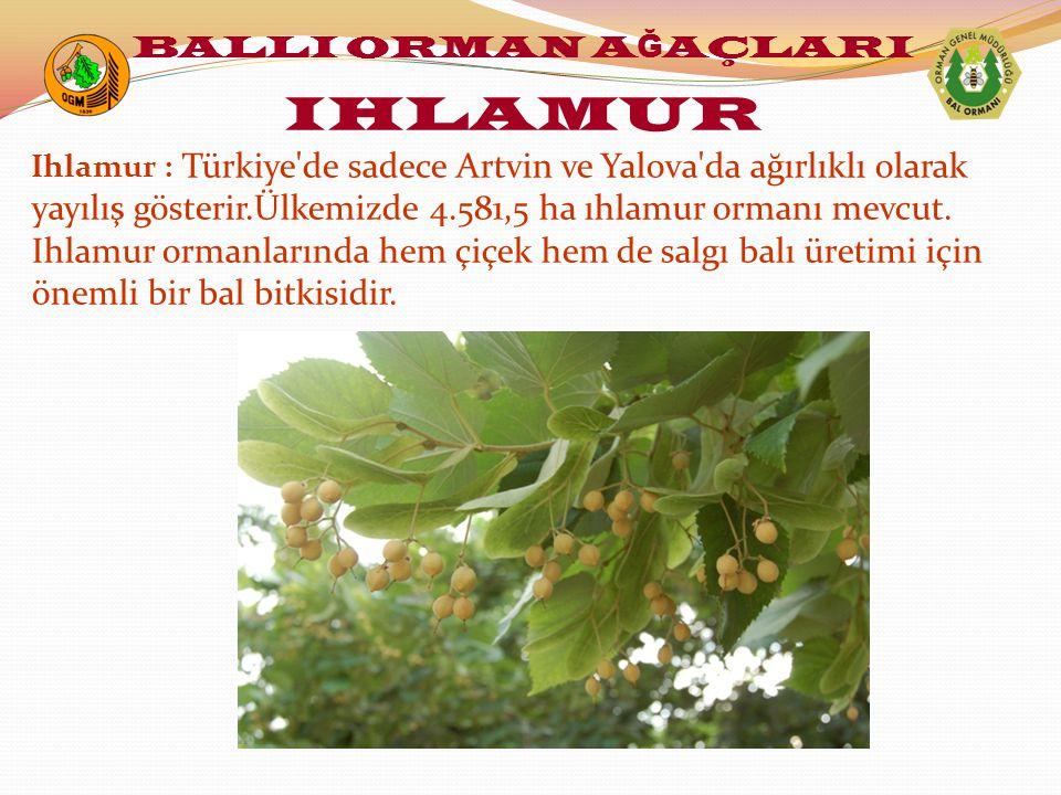 Ihlamur : Türkiye de sadece Artvin ve Yalova da ağırlıklı olarak yayılış gösterir.Ülkemizde 4.581,5 ha ıhlamur ormanı mevcut.