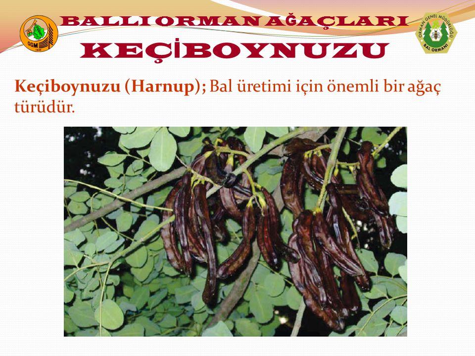 Keçiboynuzu (Harnup); Bal üretimi için önemli bir ağaç türüdür. BALLI ORMAN A Ğ AÇLARI KEÇ İ BOYNUZU