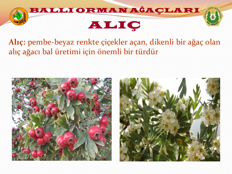 Alıç: pembe-beyaz renkte çiçekler açan, dikenli bir ağaç olan alıç ağacı bal üretimi için önemli bir türdür BALLI ORMAN A Ğ AÇLARI ALIÇ