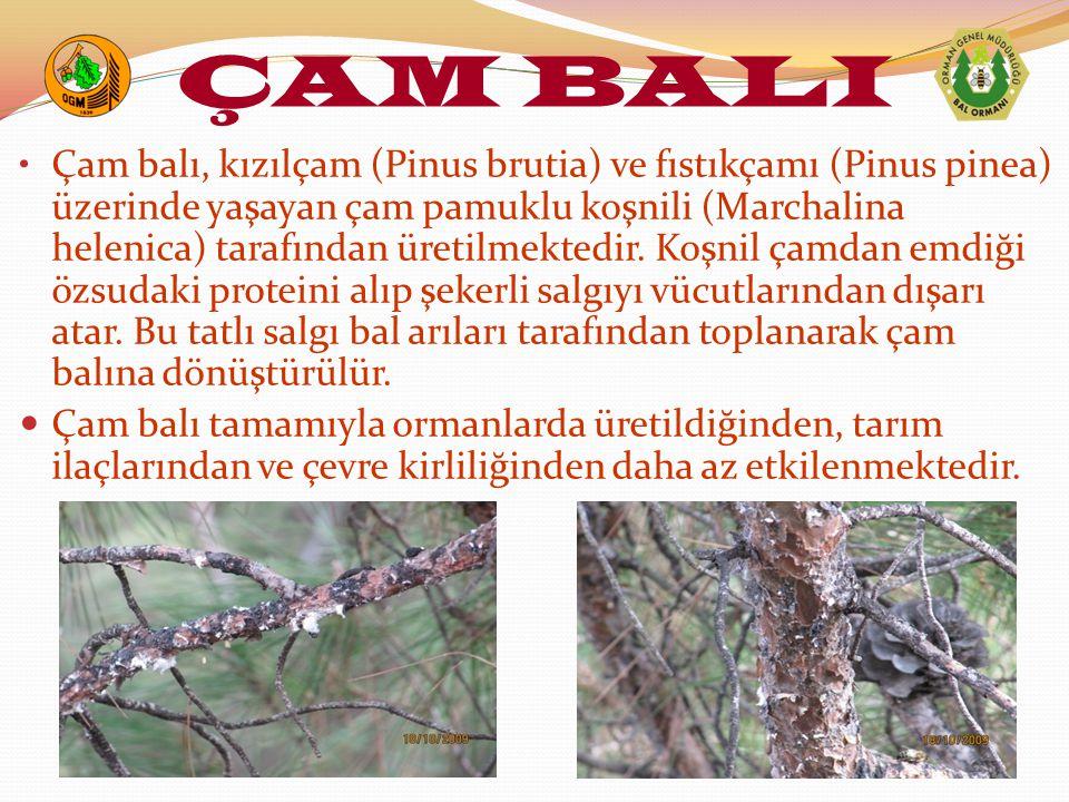 Çam balı, kızılçam (Pinus brutia) ve fıstıkçamı (Pinus pinea) üzerinde yaşayan çam pamuklu koşnili (Marchalina helenica) tarafından üretilmektedir. Ko