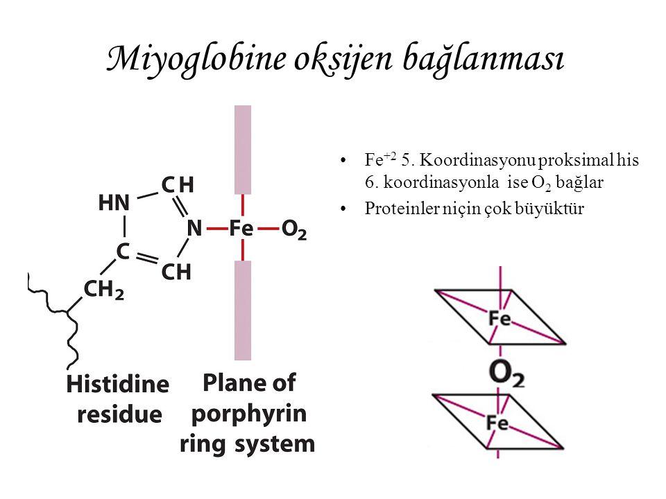 Miyoglobine oksijen bağlanması Fe +2 5. Koordinasyonu proksimal his 6. koordinasyonla ise O 2 bağlar Proteinler niçin çok büyüktür