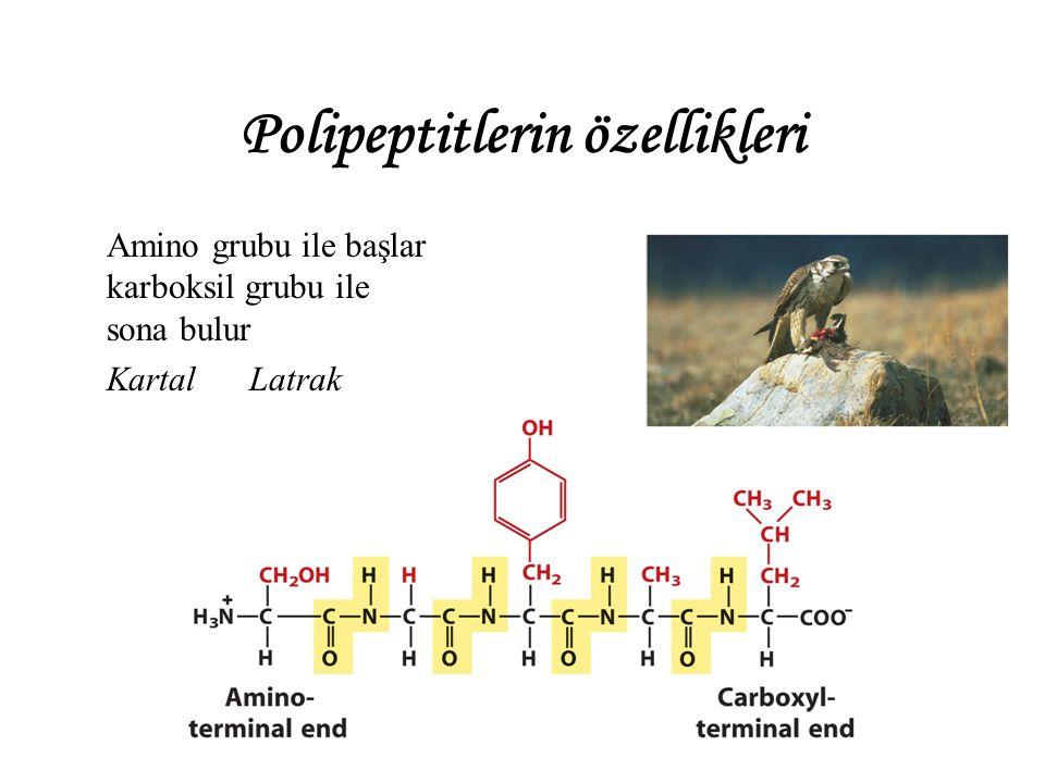 Polipeptitlerin özellikleri Amino grubu ile başlar karboksil grubu ile sona bulur Kartal Latrak