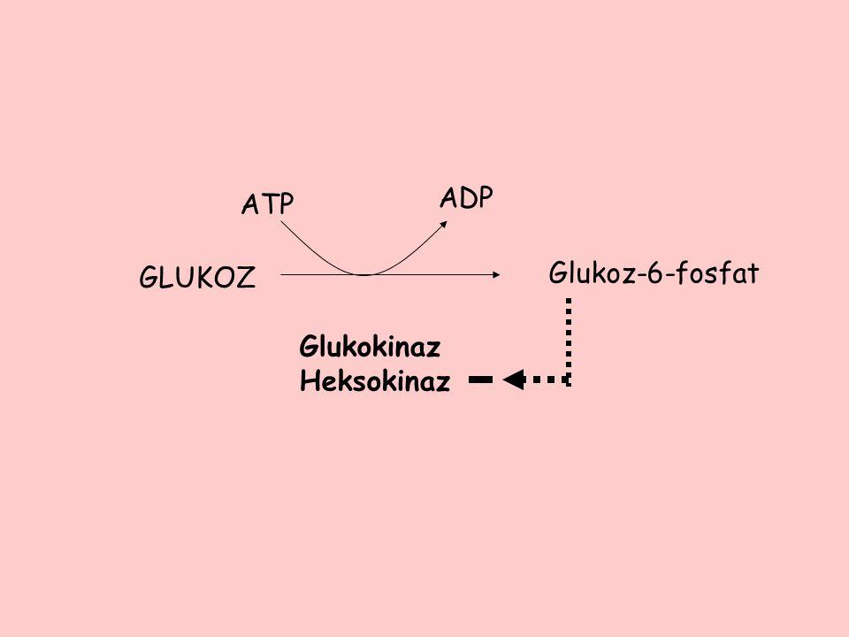 ATP ADP GLUKOZ Glukoz-6-fosfat Glukokinaz Heksokinaz