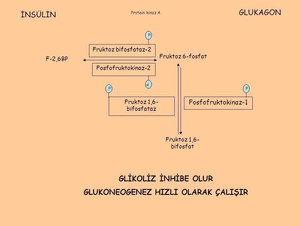 F-2,6BP Fruktoz 6-fosfat Fruktoz 1,6- bifosfat Fosfofruktokinaz-2 Fruktoz bifosfataz-2 Fosfofruktokinaz-1 Fruktoz 1,6- bifosfataz İNSÜLİN GLUKAGON P P