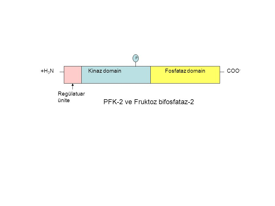 +H 3 N Kinaz domainFosfataz domain COO - Regülatuar ünite PFK-2 ve Fruktoz bifosfataz-2 P