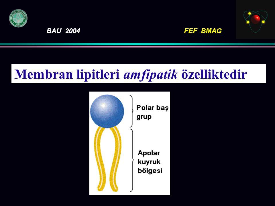 BAU 2004FEF BMAG M embran lipitleri amfipatik özelliktedir