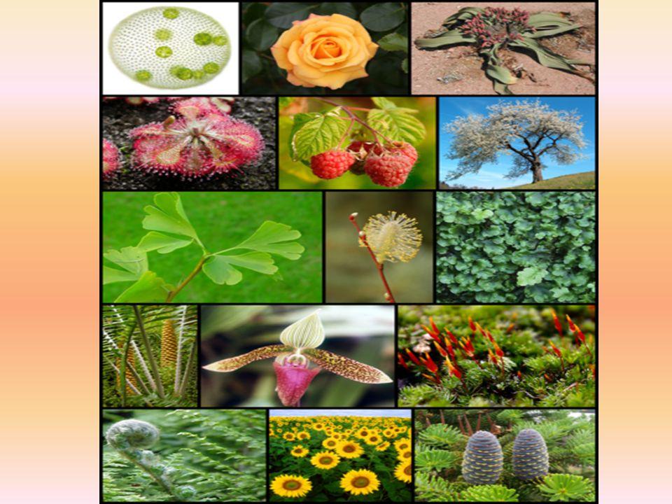  Damarsız Bitkiler Su YosunuKara Yosunu