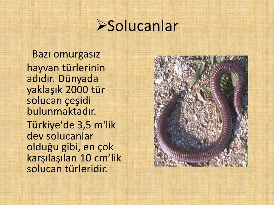  Solucanlar Bazı omurgasız hayvan türlerinin adıdır. Dünyada yaklaşık 2000 tür solucan çeşidi bulunmaktadır. Türkiye'de 3,5 m'lik dev solucanlar oldu