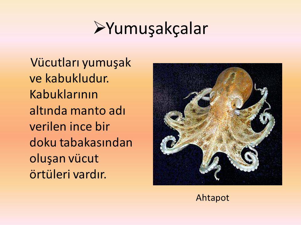  Yumuşakçalar Vücutları yumuşak ve kabukludur. Kabuklarının altında manto adı verilen ince bir doku tabakasından oluşan vücut örtüleri vardır. Ahtapo