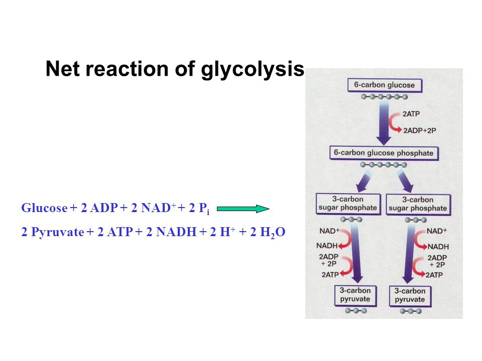 Net reaction of glycolysis Glucose + 2 ADP + 2 NAD + + 2 P i 2 Pyruvate + 2 ATP + 2 NADH + 2 H + + 2 H 2 O