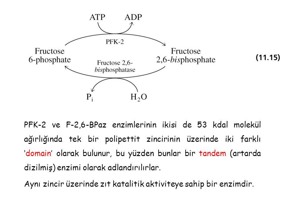 PFK-2 ve F-2,6-BPaz enzimlerinin ikisi de 53 kdal molekül ağırlığında tek bir polipettit zincirinin üzerinde iki farklı 'domain' olarak bulunur, bu yü