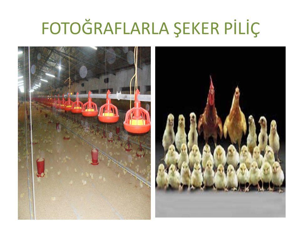 FOTOĞRAFLARLA ŞEKER PİLİÇ