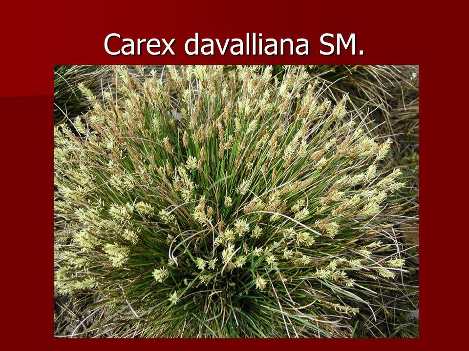Carex davalliana SM.