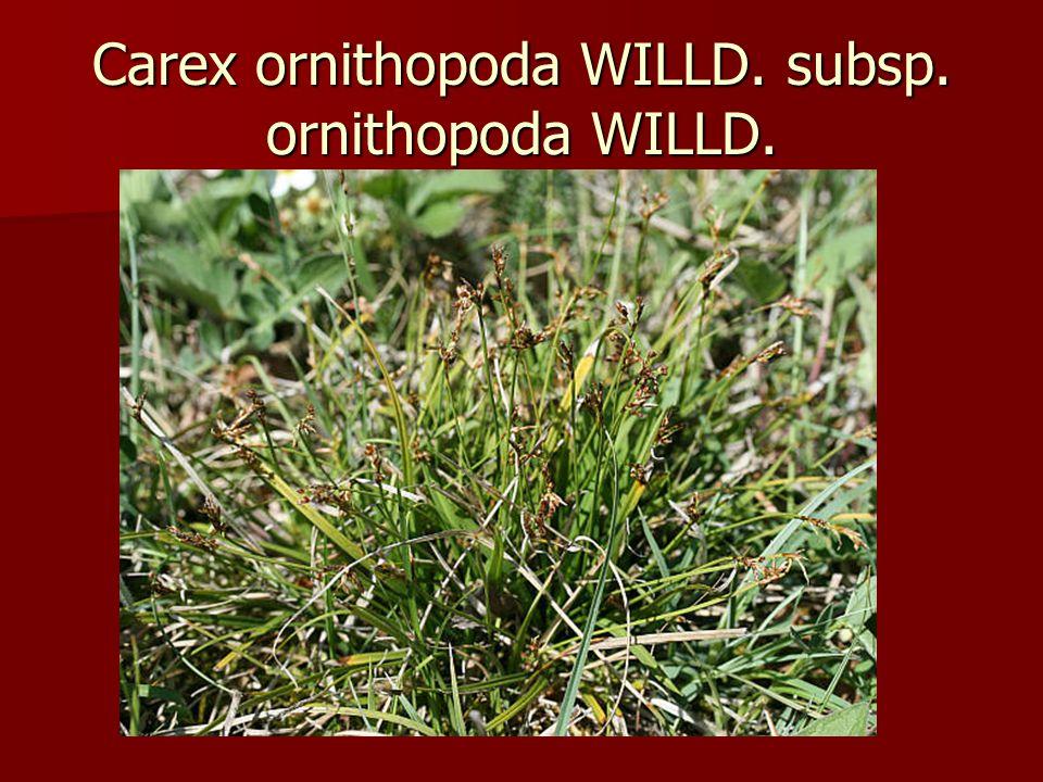 Carex ornithopoda WILLD. subsp. ornithopoda WILLD.