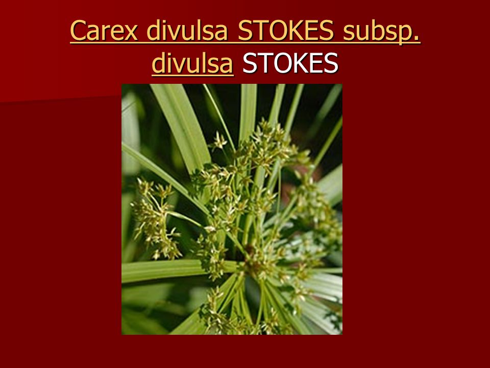 Carex divulsa STOKES subsp. divulsaCarex divulsa STOKES subsp. divulsa STOKES Carex divulsa STOKES subsp. divulsa