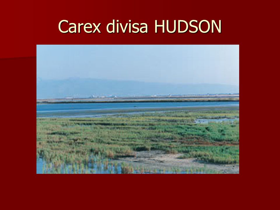 Carex divisa HUDSON