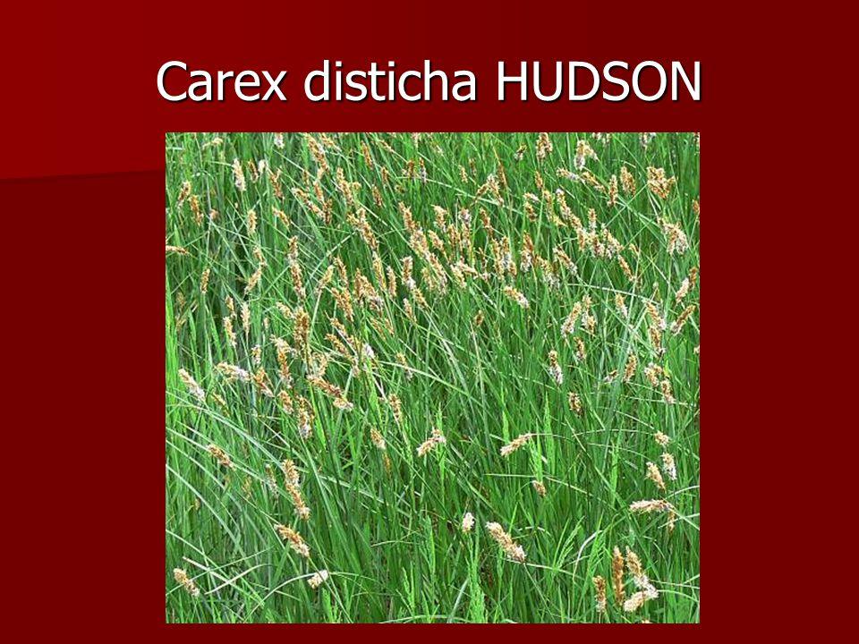 Carex disticha HUDSON