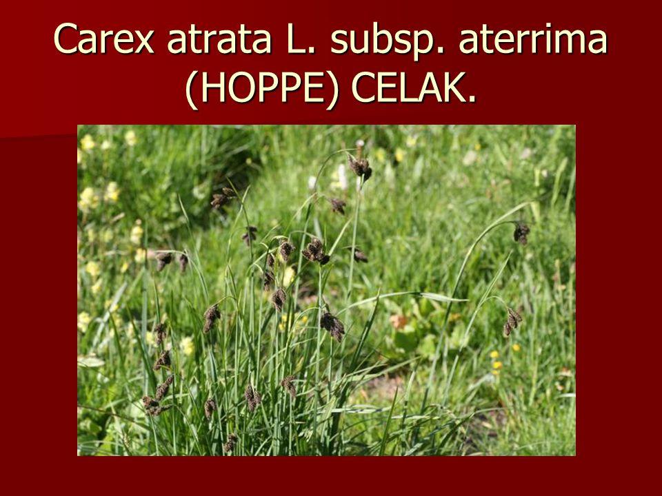 Carex atrata L. subsp. aterrima (HOPPE) CELAK.