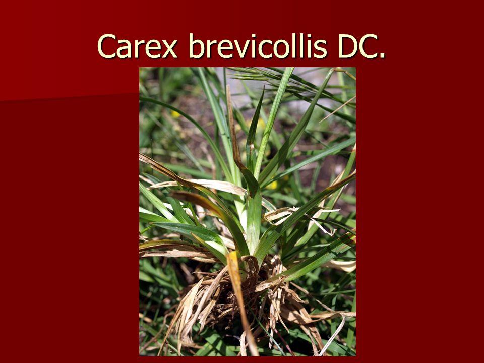 Carex brevicollis DC.