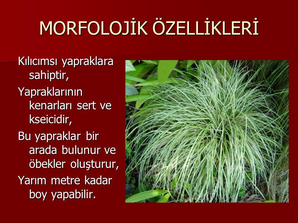 MORFOLOJİK ÖZELLİKLERİ Kılıcımsı yapraklara sahiptir, Yapraklarının kenarları sert ve kseicidir, Bu yapraklar bir arada bulunur ve öbekler oluşturur,