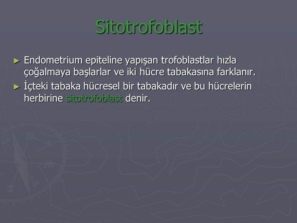 Sitotrofoblast ► Endometrium epiteline yapışan trofoblastlar hızla çoğalmaya başlarlar ve iki hücre tabakasına farklanır. ► İçteki tabaka hücresel bir