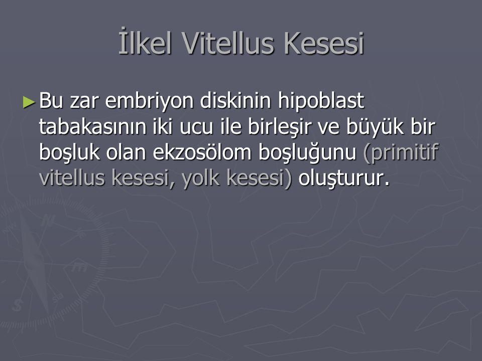 İlkel Vitellus Kesesi ► Bu zar embriyon diskinin hipoblast tabakasının iki ucu ile birleşir ve büyük bir boşluk olan ekzosölom boşluğunu (primitif vitellus kesesi, yolk kesesi) oluşturur.
