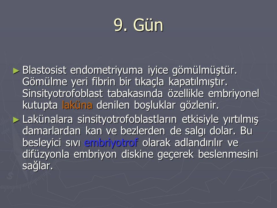 9.Gün ► Blastosist endometriyuma iyice gömülmüştür.