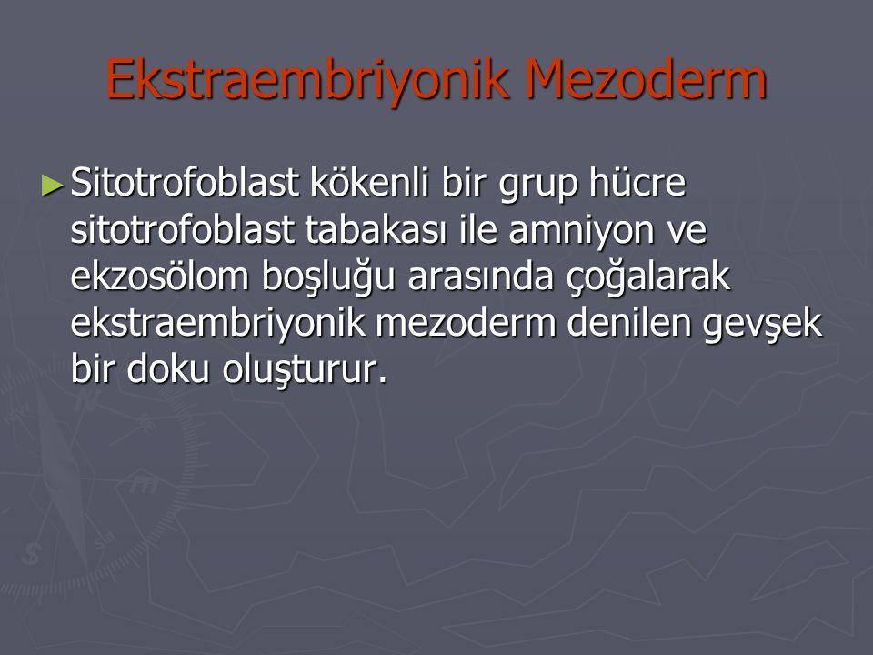 Ekstraembriyonik Mezoderm ► Sitotrofoblast kökenli bir grup hücre sitotrofoblast tabakası ile amniyon ve ekzosölom boşluğu arasında çoğalarak ekstraembriyonik mezoderm denilen gevşek bir doku oluşturur.