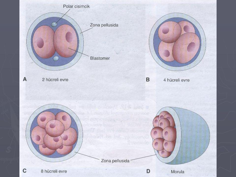 Blastosist ► Morula uterusa ulaştığında uterus boşluğundaki sıvı, zona pellusidayı geçip blastomerlerin aralarına sızıp toplanmaya başlar.