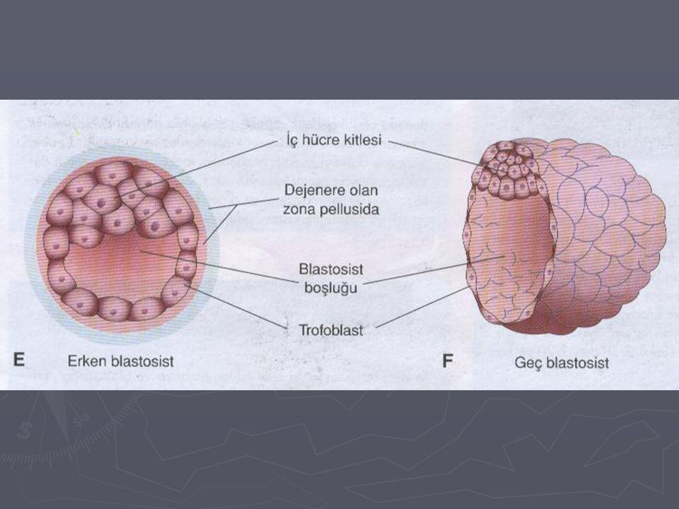 Blastosist ► Blastosist uterus boşluğunda 1.5-2 gün serbestçe yüzer.