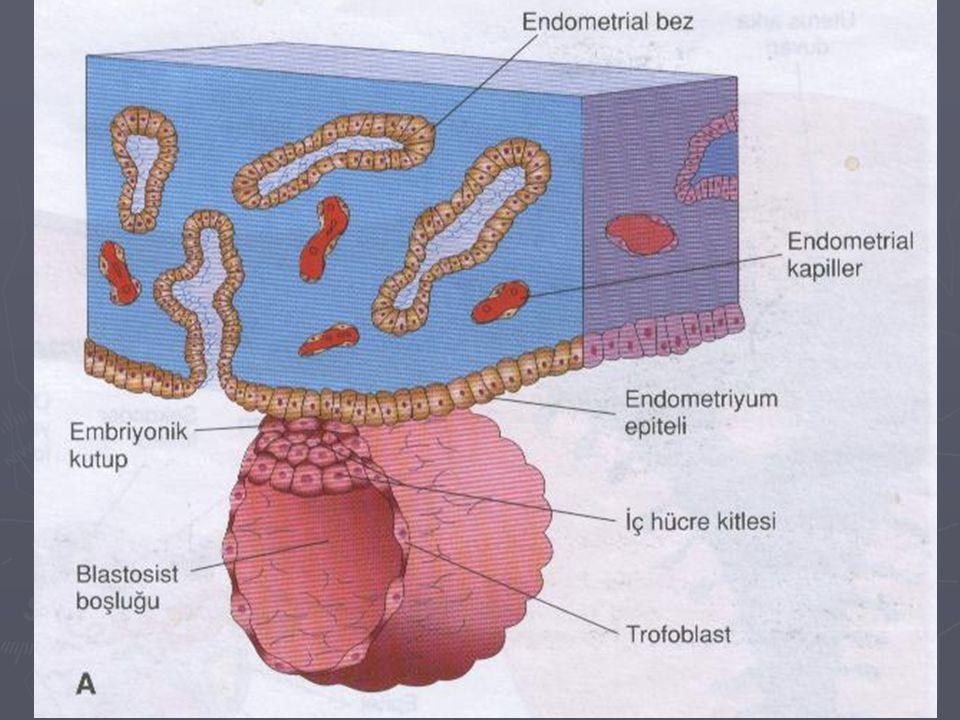 Sitotrofoblast ► Endometrium epiteline yapışan trofoblastlar hızla çoğalmaya başlarlar ve iki hücre tabakasına farklanır.