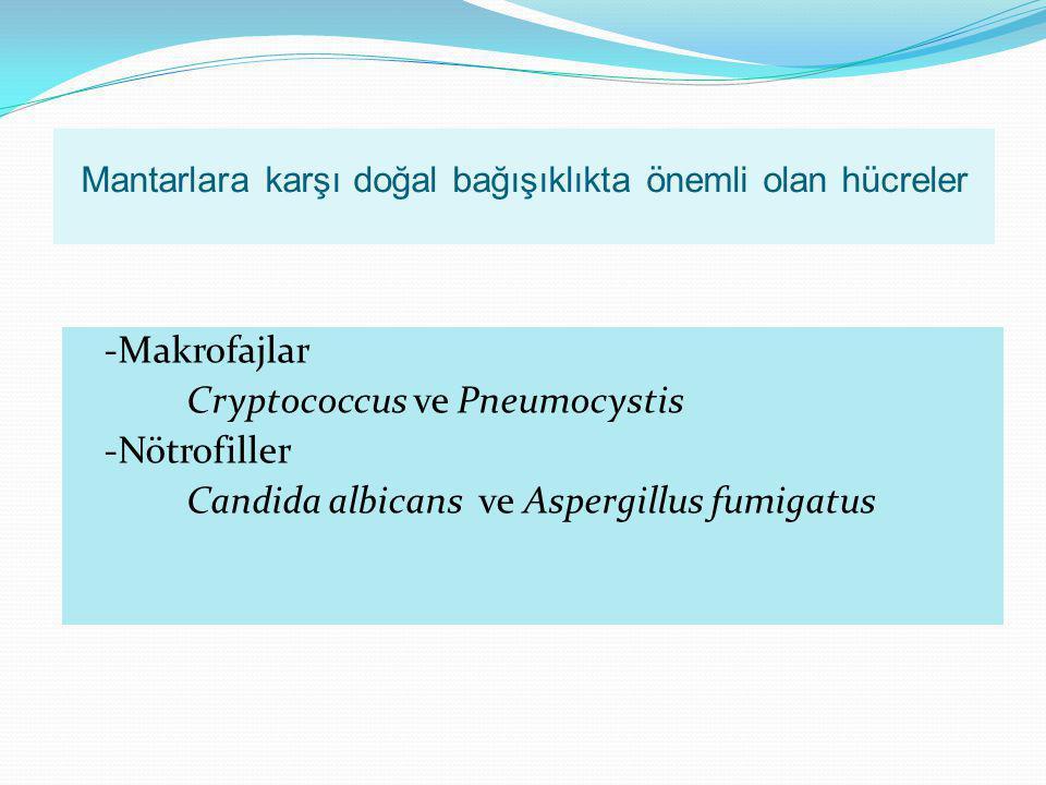 Mantarlara karşı doğal bağışıklıkta önemli olan hücreler -Makrofajlar Cryptococcus ve Pneumocystis -Nötrofiller Candida albicans ve Aspergillus fumiga