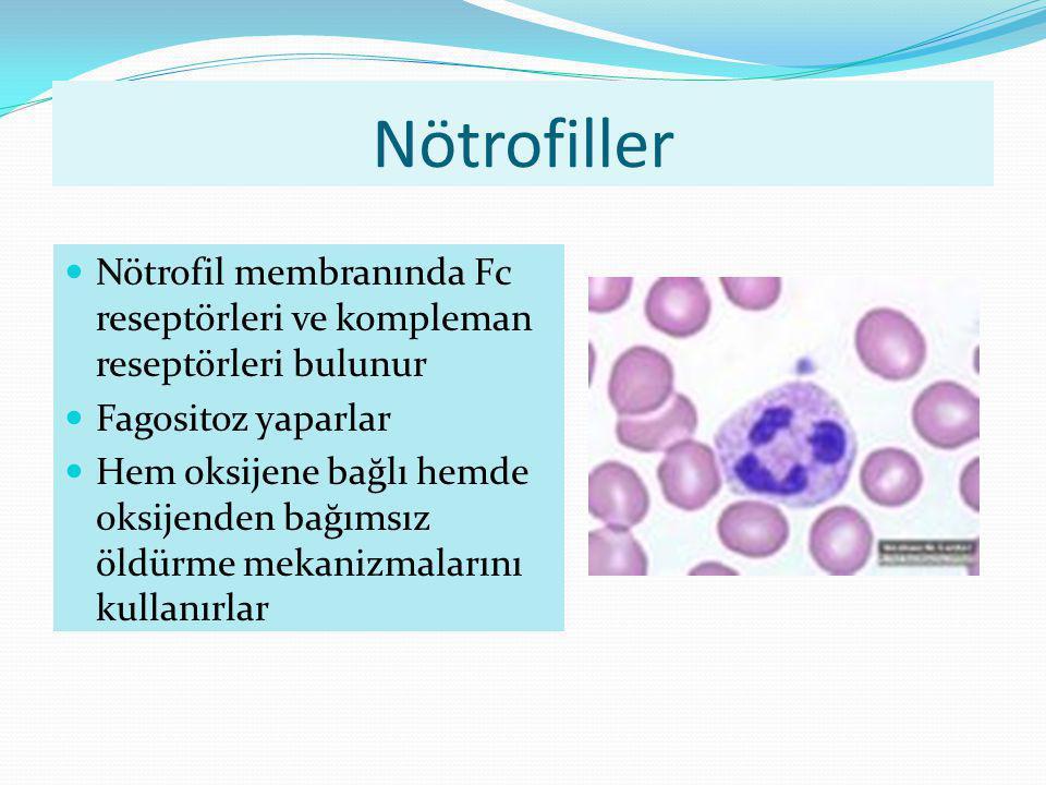 Nötrofiller Nötrofil membranında Fc reseptörleri ve kompleman reseptörleri bulunur Fagositoz yaparlar Hem oksijene bağlı hemde oksijenden bağımsız öld