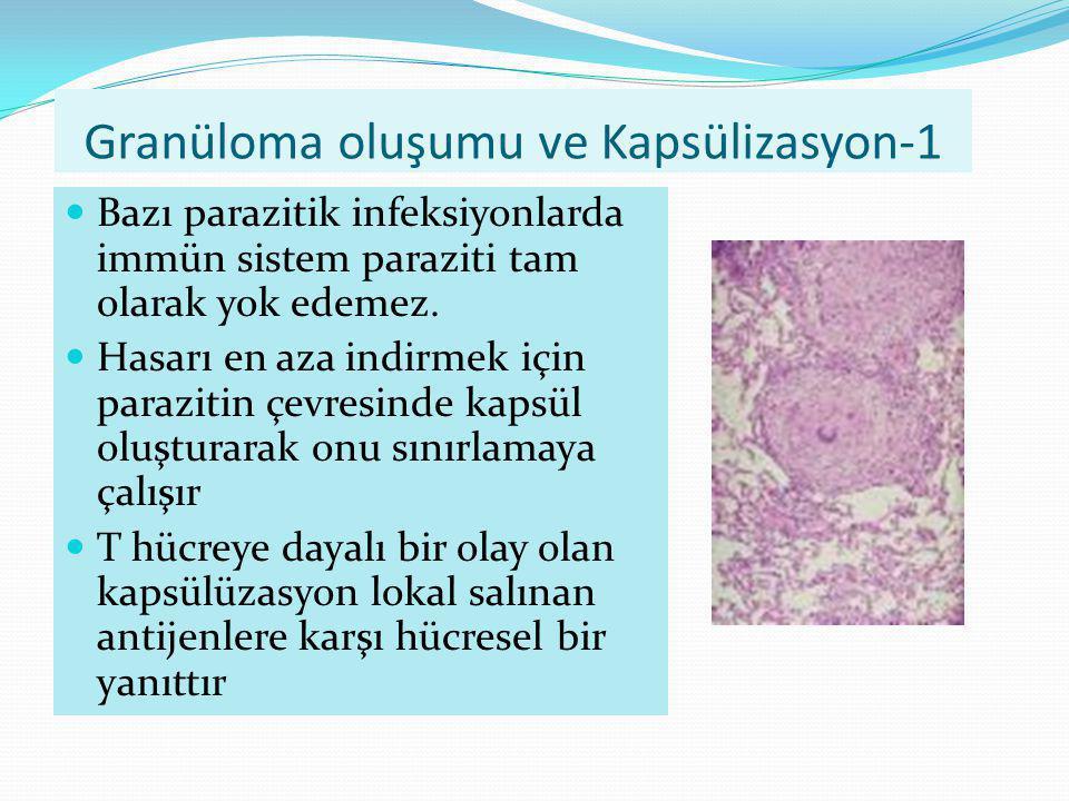 Granüloma oluşumu ve Kapsülizasyon-1 Bazı parazitik infeksiyonlarda immün sistem paraziti tam olarak yok edemez. Hasarı en aza indirmek için parazitin