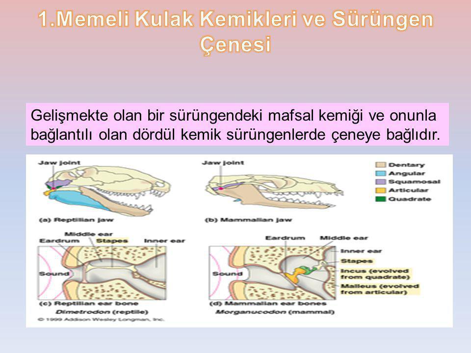 Gelişmekte olan bir sürüngendeki mafsal kemiği ve onunla bağlantılı olan dördül kemik sürüngenlerde çeneye bağlıdır.